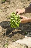L'agricoltore fa la piantatura delle verdure Fresco e alimento biologico Immagine Stock