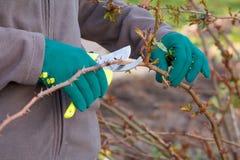 L'agricoltore femminile con pruner tosa le punte del cespuglio di rose Immagini Stock