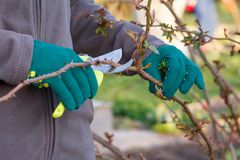 L'agricoltore femminile con pruner tosa le punte del cespuglio di rose Immagine Stock