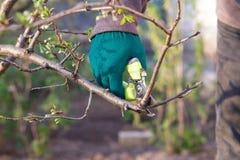 L'agricoltore femminile con pruner tosa le punte del susino Fotografia Stock Libera da Diritti