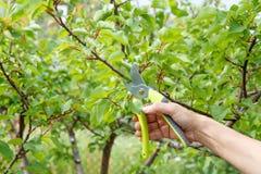 L'agricoltore femminile con pruner tosa le punte dell'albero di albicocca Fotografie Stock Libere da Diritti
