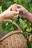 L'agricoltore femminile ha raccolto a mano le pere e dà l'uomo anziano Fotografia Stock Libera da Diritti
