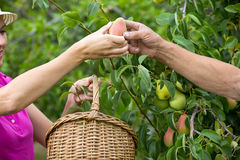 L'agricoltore femminile ha raccolto a mano le pere e dà l'uomo anziano Fotografia Stock