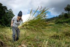 L'agricoltore femminile sta raccogliendo nella risaia Fotografie Stock Libere da Diritti