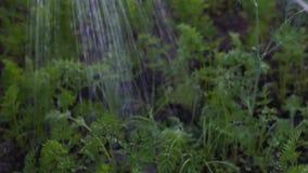 L'agricoltore femminile versa l'acqua sulle verdure del giardino, carote archivi video