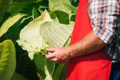 L'agricoltore guarda il tabacco Fotografia Stock
