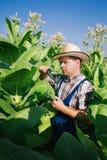 L'agricoltore guarda il tabacco nel campo Immagini Stock