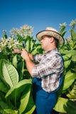 L'agricoltore guarda il tabacco nel campo Immagini Stock Libere da Diritti