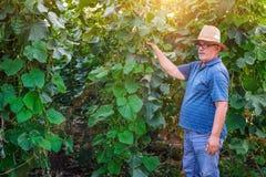 L'agricoltore guarda la pianta dei cetrioli Immagine Stock