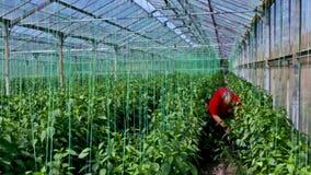 L'agricoltore ha raccolto i peperoni maturi in una serra stock footage