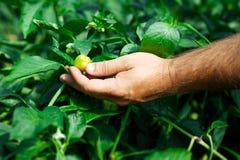 L'agricoltore ha raccolto i peperoni maturi in una serra Fotografie Stock Libere da Diritti
