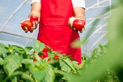 L'agricoltore ha raccolto i peperoni maturi in una serra Immagini Stock Libere da Diritti