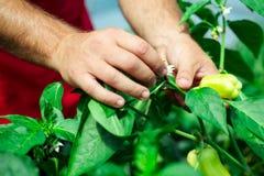 L'agricoltore ha raccolto i peperoni maturi in una serra Fotografia Stock Libera da Diritti