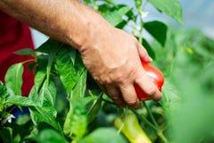 L'agricoltore ha raccolto i peperoni maturi in una serra Immagine Stock