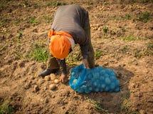 L'agricoltore ha raccolto le patate in un giacimento della patata Fotografie Stock Libere da Diritti