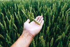 L'agricoltore ispeziona il campo verde del raccolto di giovane grano Fotografia Stock