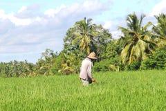 L'agricoltore lavora nelle risaie, Bali, Indonesia Fotografia Stock Libera da Diritti