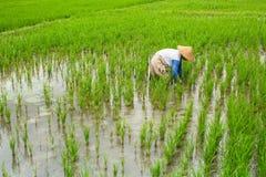 L'agricoltore lavora in un giacimento del riso agricoltura Immagini Stock Libere da Diritti