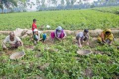 L'agricoltore locale sta riunendo le patate in giardino Fotografia Stock Libera da Diritti