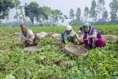 L'agricoltore locale sta riunendo le patate in giardino Fotografia Stock