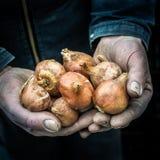L'agricoltore maschio passa i tulipani dell'olandese della tenuta Fotografie Stock Libere da Diritti