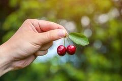 l'agricoltore maschio sta tenendo le bacche mature di un ciliegio Immagine Stock Libera da Diritti