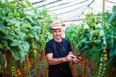 L'agricoltore maturo dell'uomo in serra che controlla le piante di pomodori tramite compressa e preme il tachscreen online in ser Fotografia Stock