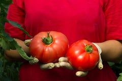 L'agricoltore mostra il suo raccolto organico fresco del pomodoro Fotografia Stock