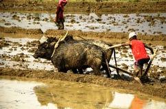 L'agricoltore nepalese coltiva il campo sui buoi Immagini Stock