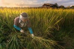 L'agricoltore non identificato sta raccogliendo il riso e porta il riso dalla casa dell'azienda agricola Fotografie Stock