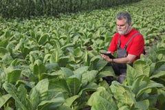 L'agricoltore o l'agronomo ispeziona il campo di tabacco Immagine Stock Libera da Diritti