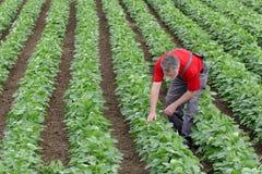 L'agricoltore o l'agronomo nel campo del fagiolo della soia esamina la pianta Immagine Stock Libera da Diritti