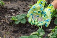 L'agricoltore passa dare il fertilizzante chimico alle giovani fragole pl Fotografie Stock Libere da Diritti