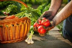 L'agricoltore passa la tenuta del pomodoro fresco Immagini Stock