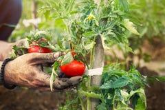 L'agricoltore passa la tenuta del pomodoro fresco Immagini Stock Libere da Diritti