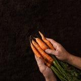 L'agricoltore passa la tenuta delle carote appena raccolte Fotografie Stock