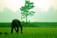 L'agricoltore pianta la risaia e l'albero nel metà di campo Fotografia Stock