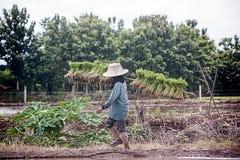 L'agricoltore porta il movimento del riso degli alberelli a riempire i campi bella vista della campagna Immagini Stock