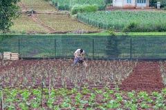 L'agricoltore prende la cura del suo giacimento del pomodoro Fotografie Stock Libere da Diritti