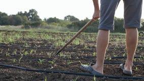 L'agricoltore rimuove le erbacce dalla zappa nel campo di grano con bosco giovane all'azienda agricola organica di eco Fotografia Stock Libera da Diritti