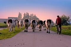 L'agricoltore riporta le sue mucche alla stalla al tramonto nei Paesi Bassi Fotografie Stock