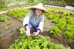L'agricoltore senior femminile felice che lavora nelle verdure coltiva Fotografia Stock Libera da Diritti