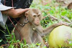 L'agricoltore si siede con la scimmia la piantagione della noce di cocco a Koh Samui, Tailandia Fotografia Stock Libera da Diritti