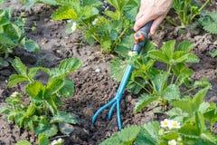 L'agricoltore sta allentando il suolo intorno ai cespugli di fragola facendo uso della mano Fotografia Stock Libera da Diritti