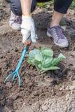 L'agricoltore sta allentando il suolo intorno al cavolo facendo uso del Ra del giardino della mano Fotografia Stock