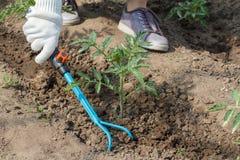 L'agricoltore sta allentando il suolo intorno al cespuglio del pomodoro facendo uso della mano garde Fotografia Stock