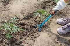 L'agricoltore sta allentando il suolo intorno al cespuglio del pomodoro facendo uso della mano garde Immagini Stock