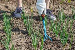 L'agricoltore sta allentando il suolo intorno alle cipolle facendo uso del rak del giardino della mano Fotografia Stock Libera da Diritti