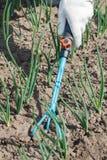 L'agricoltore sta allentando il suolo intorno alle cipolle facendo uso del rak del giardino della mano Immagine Stock Libera da Diritti