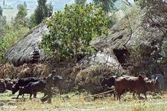 L'agricoltore sta arando il campo con il suo gruppo dei buoi Fotografie Stock
